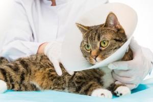 Tierarzt legt einer Katze mit Katzenversicherung eine Halskrause an